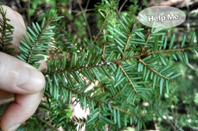 HWA on Hemlock Tree